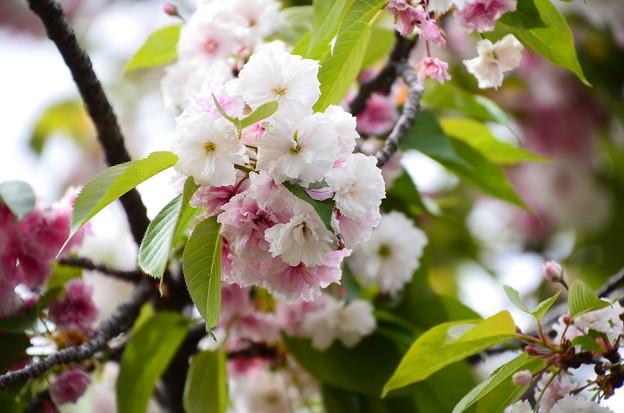 塩竃桜(シオガマザクラ)
