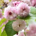 写真: 梅護寺数珠掛桜(バイゴジジュズカケザクラ)