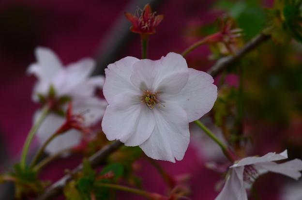 八房桜(ヤツブサザクラ)