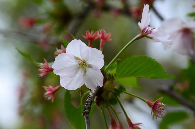 写真: 八房桜(ヤツブサザクラ)