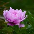 写真: 芍薬も咲き始め~