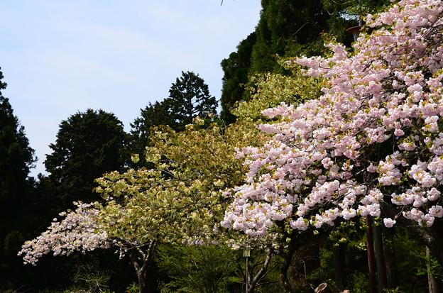 延暦寺バスセンター脇の桜