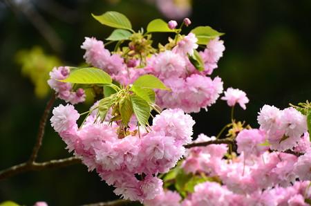 法華総持院鐘楼脇の桜