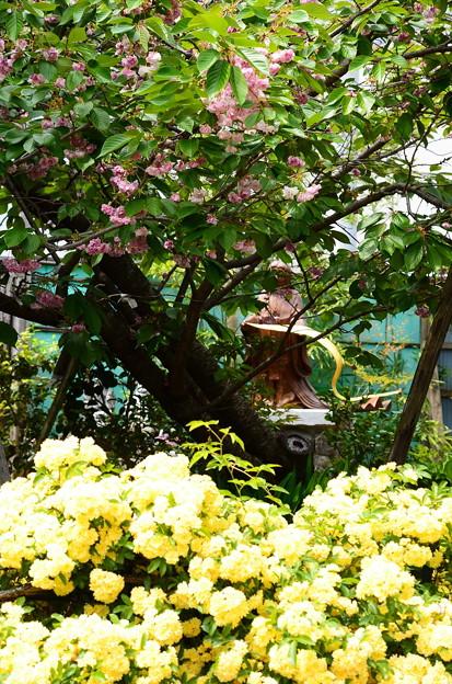 黄木香薔薇と普賢象