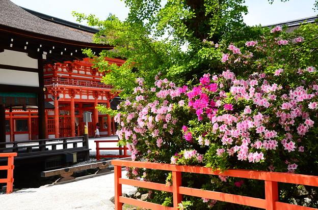 躑躅咲く下鴨神社