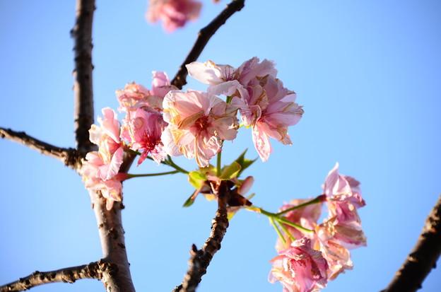 妙覚寺門脇の桜