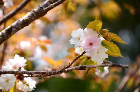 可愛い八重桜
