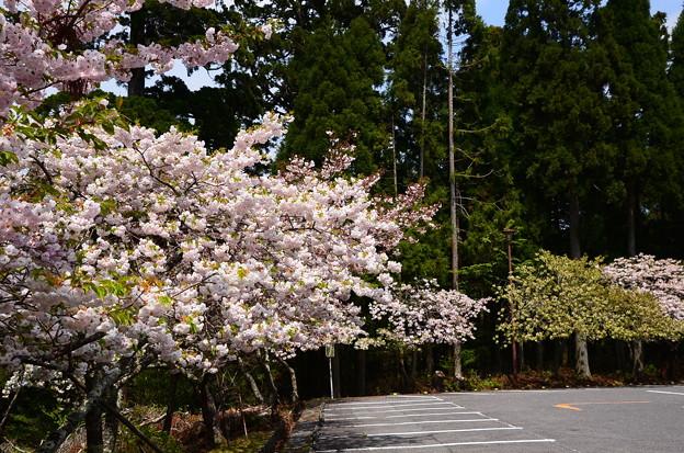 延暦寺バスセンター脇の桜たち