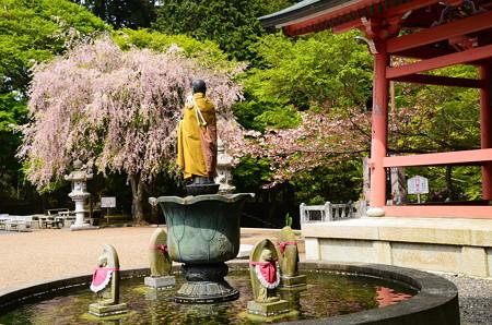 法華総持院の桜風景