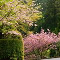法華総持院の桜