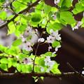 文殊塔脇の桜