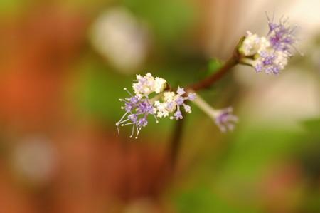 青花三つ葉(アオバナミツバ)