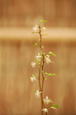 菫葉黄蓮(スミレバオウレン)