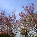 8分咲きの関山(カンザン)