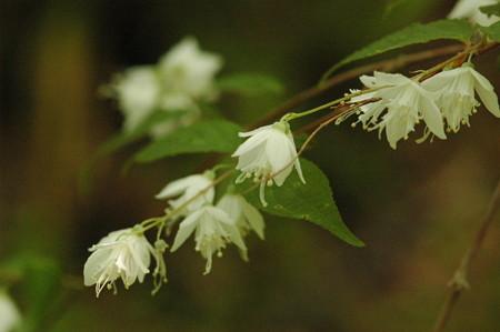 裏白空木(ウラジロウツギ)