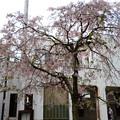 ケーブル比叡駅脇の八重紅枝垂れ
