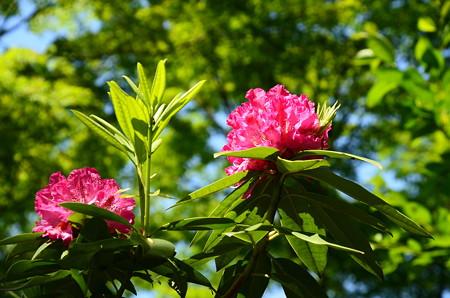 和田石楠花(ワダシャクナゲ)