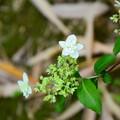 写真: 八重の小萼空木(ヤエノコガクウツギ)