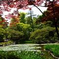 写真: 春もみじの白虎池