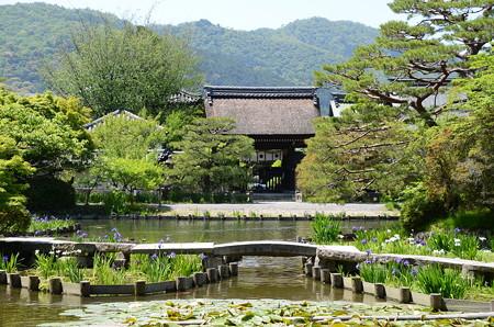 杜若が見頃の梅宮神社