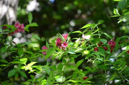 紅空木(ベニウツギ)