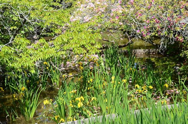 黄菖蒲の池