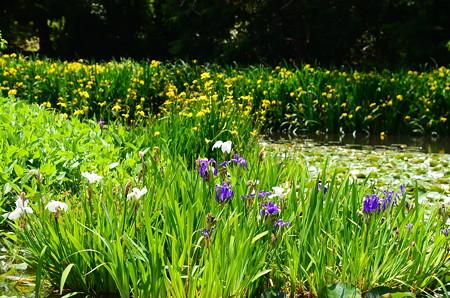 杜若、黄菖蒲咲く氷室池