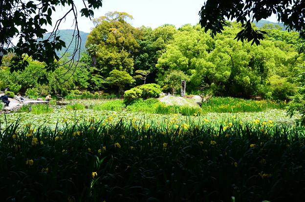 新緑と黄菖蒲の氷室池