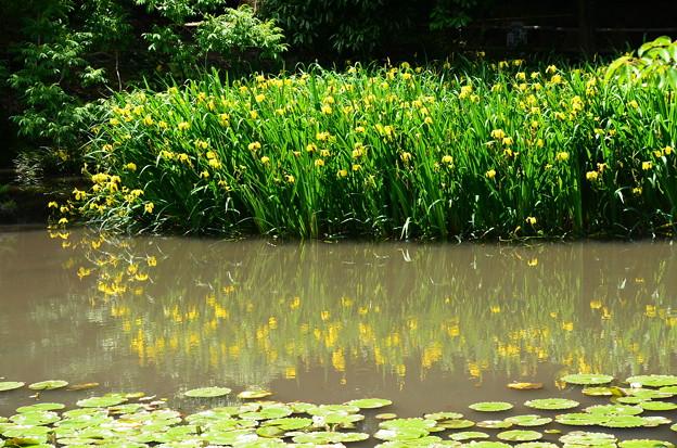 黄菖蒲を映す氷室池