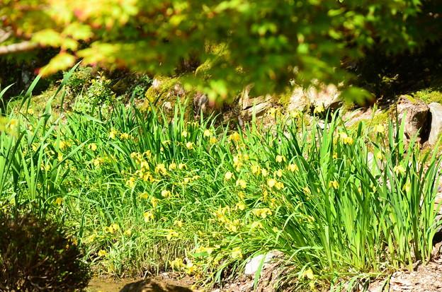 新緑の前の黄菖蒲(キショウブ)