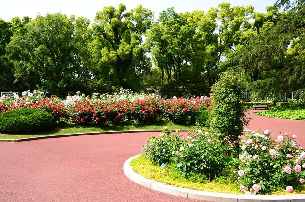 5月の薔薇園