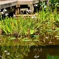 写真: 紫陽花園の杜若(カキツバタ)