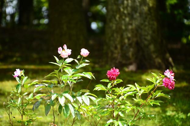写真: 芍薬(シャクヤク)