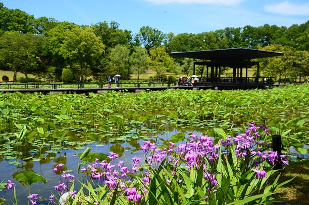 蓮池脇の紫蘭(シラン)