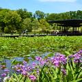 写真: 蓮池脇の紫蘭(シラン)