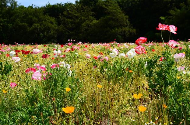 花の丘のポピー