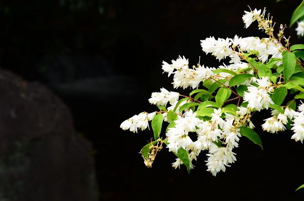 空木(ウツギ)