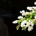 写真: 空木(ウツギ)