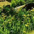 写真: 智積院の黄菖蒲(キショウブ)