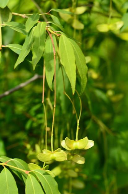 風鈴吊り花(フウリンツリバナ)