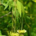 写真: 風鈴吊り花(フウリンツリバナ)