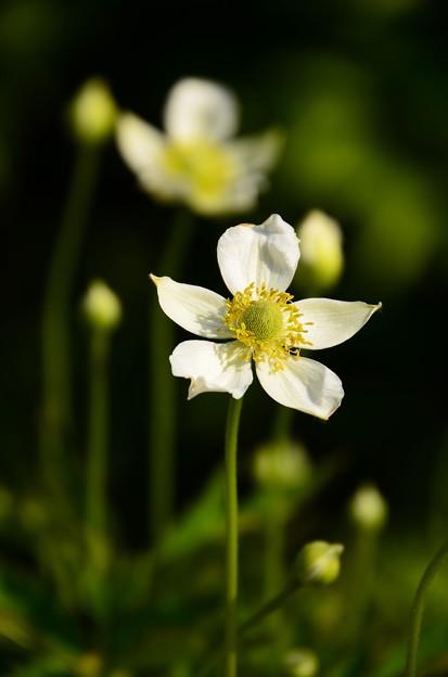 春咲き秋明菊(ハルザキシュウメイギク)