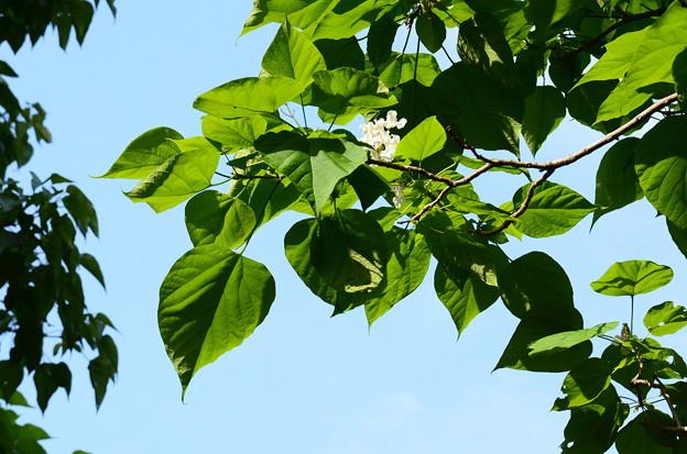 亜米利加木大角豆(アメリカキササゲ)
