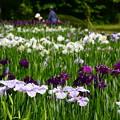 写真: 花菖蒲園