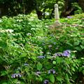 写真: 真如堂紫陽花園