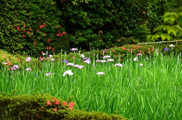 花菖蒲が咲き始めた白虎池