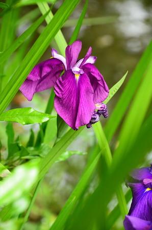 南神苑の花菖蒲