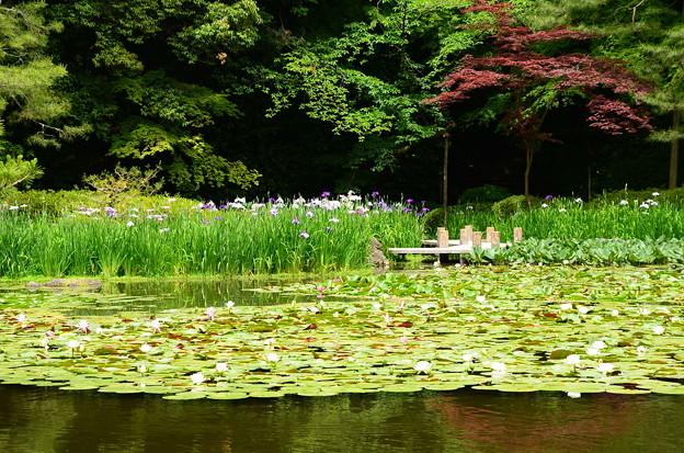 花菖蒲と春もみじの白虎池