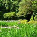 Photos: 花菖蒲と春もみじの白虎池