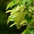 写真: 本堂前の菩提樹(ボダイジュ)